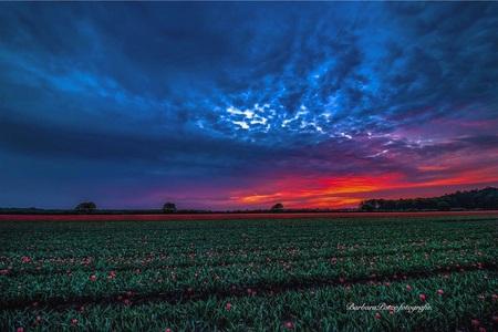 Zonsondergang boven de bloemenvelden. - - - foto door Potzerio op 04-05-2020 - deze foto bevat: lucht, wolken, tulpen, lente, natuur, licht, avond, zonsondergang, bloemen, landschap, bomen