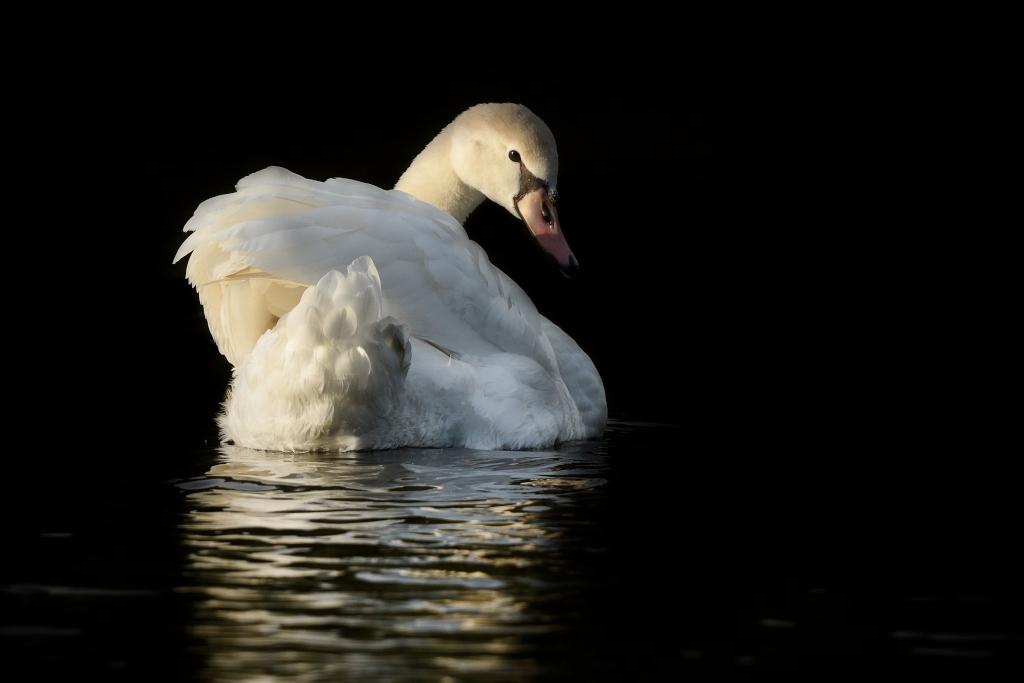 Zwaan - Soms werkt alles mee... het wisselende licht en de poetsende zwaan gaven prachtige momenten. - foto door guurtje op 24-10-2014 - deze foto bevat: natuur, licht, zwaan, nederland, strijklicht, guurtje