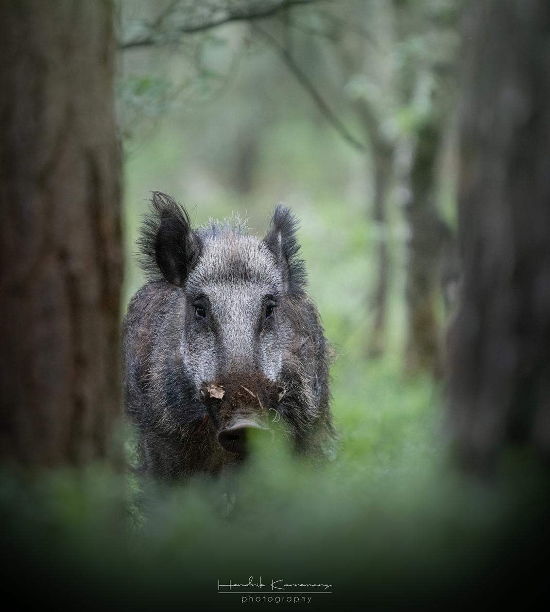 Zwijn in het bos - - - foto door Hendrik1986 op 08-06-2020 - deze foto bevat: natuur, dieren, zwijn, wildlife