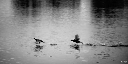 Holy Ducks - Tís weer paringstijd met de bijbehorende rituelen...... Zo grappig als ze over het water rennen..... Mvg. Ray - foto door Ray Beers op 08-03-2021 - deze foto bevat: meerkoet, nikon, leiden, vlietlanden, rennen, vechten, Ray Beers