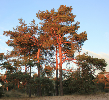 zonrode boom