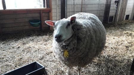 nummer 23 - nummer 23, ze hebben geen naam, maar de beheerder/ boer kent elk schaap bij zijn nummer. - foto door RolandvanTol op 06-03-2021 - deze foto bevat: natuur, dieren, schaap, stal