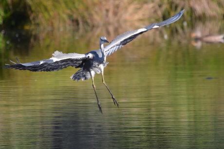 Landing Blauwe reiger.