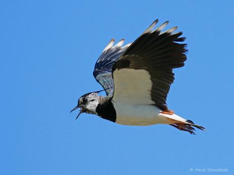 Jonge kievit kan vliegen