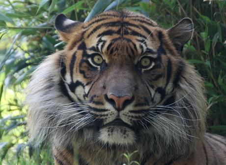 tijger mannetje in diergaarde blijdorp