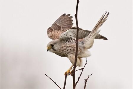 Balanceren kan je leren - Het viel niet mee met die harde wind. - foto door ErikSFotografie op 13-04-2021 - deze foto bevat: natuur, torenvalkje, roofvogel, wildlife, vogel, boom, vogel, bek, takje, veer, lucht, falconiformes, staart, vleugel, accipitridae, accipitriformes