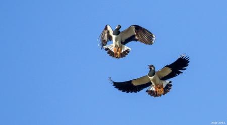 Kieviten. -  Kieviten. - foto door ikjel op 15-04-2021 - deze foto bevat: kieviten, lucht, vogel, accipitridae, bek, falconiformes, vleugel, veer, roofvogel, accipitriformes, staart