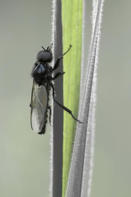 rouwvlieg (2)