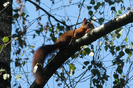 genieten van de zon - eekhoorn op een tak - foto door Krea10 op 16-04-2021 - locatie: Putten, Nederland - deze foto bevat: lucht, gewervelde, takje, organisme, rode panda, knaagdier, fawn, kofferbak, boom, terrestrische dieren