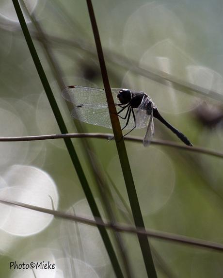 Zwarte heidelibel