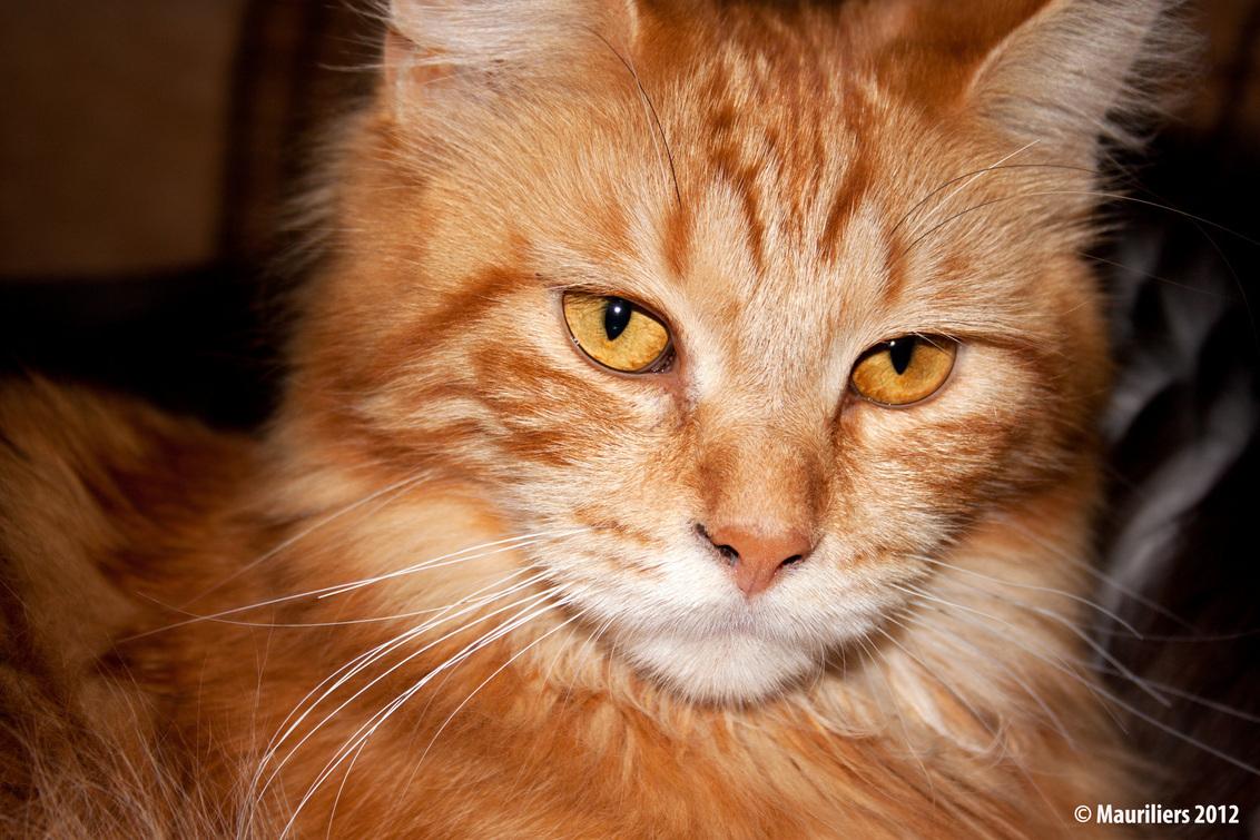 Als blikken konden doden..... - Nu had Ginny er geen zin meer in.... mijn laatste foto van 2012..... op naar 2013. - foto door Mauriliers op 01-01-2013 - deze foto bevat: dieren, katten, ginny, maine coon