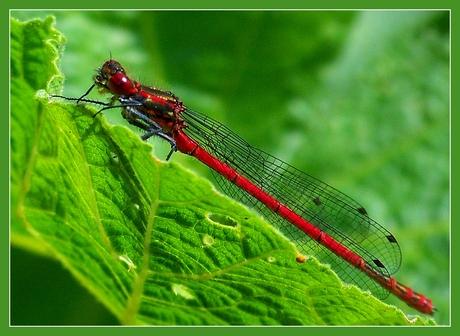 Midragonfly II