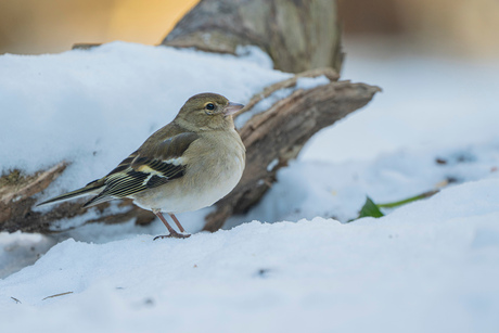 Female finch on snow