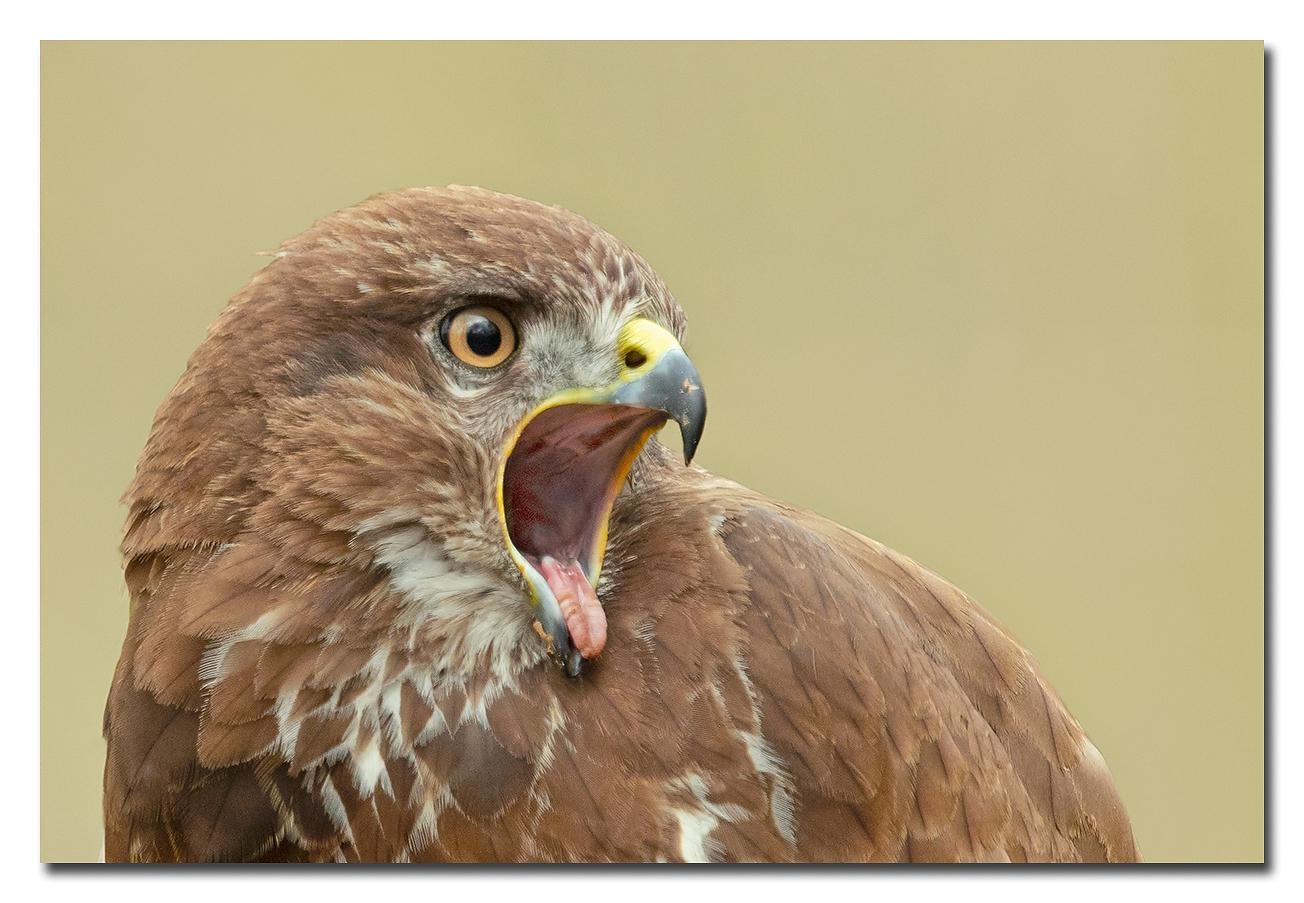 Gapende buizerd - een buizerd die gaapt bij de roep hebben ze de rong los van de ondersnavel!  Effies in het groot bekijken!  Heel erg bedankt voor de fijne reacties b - foto door Anna Rass op 16-04-2021 - deze foto bevat: buizerd, roofvogel, vogel, dier, roofdier, natuur, nature, anna, gapen, vogel, accipitridae, valk, bek, adelaar, falconiformes, roofvogel, accipitriformes, veer, vleugel