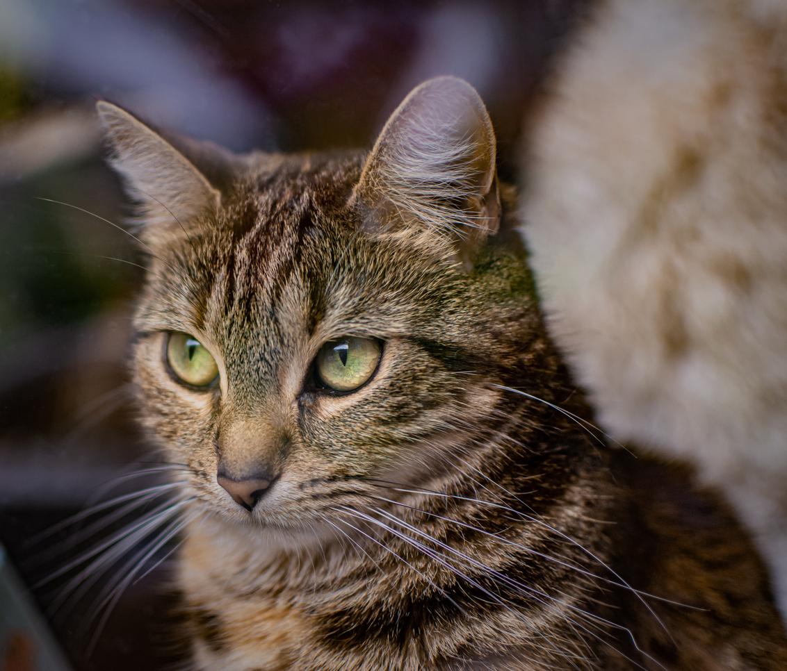 Anna - onze mooi Poes Anna was zelf erg tevreden met deze portret foto van haar ben erg benieuwd wat jullie er van vinden met sportieve groet Cyril - foto door sipmaurer op 10-11-2020 - deze foto bevat: poes, portret, dieren, huisdier, liefde, katten, ogen, lief, beauty, anna, closeup