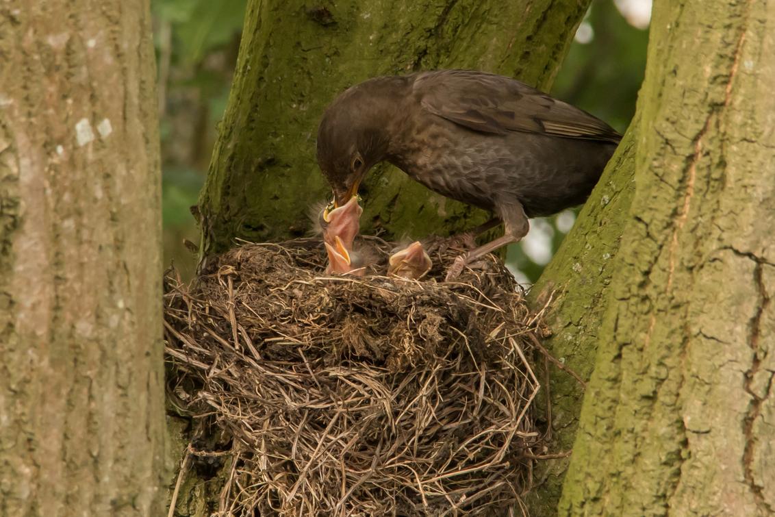 Merel geeft jong eten - - - foto door irmaboonman op 17-06-2018 - deze foto bevat: natuur, merel, dieren, vogel, baby, jong, nestje