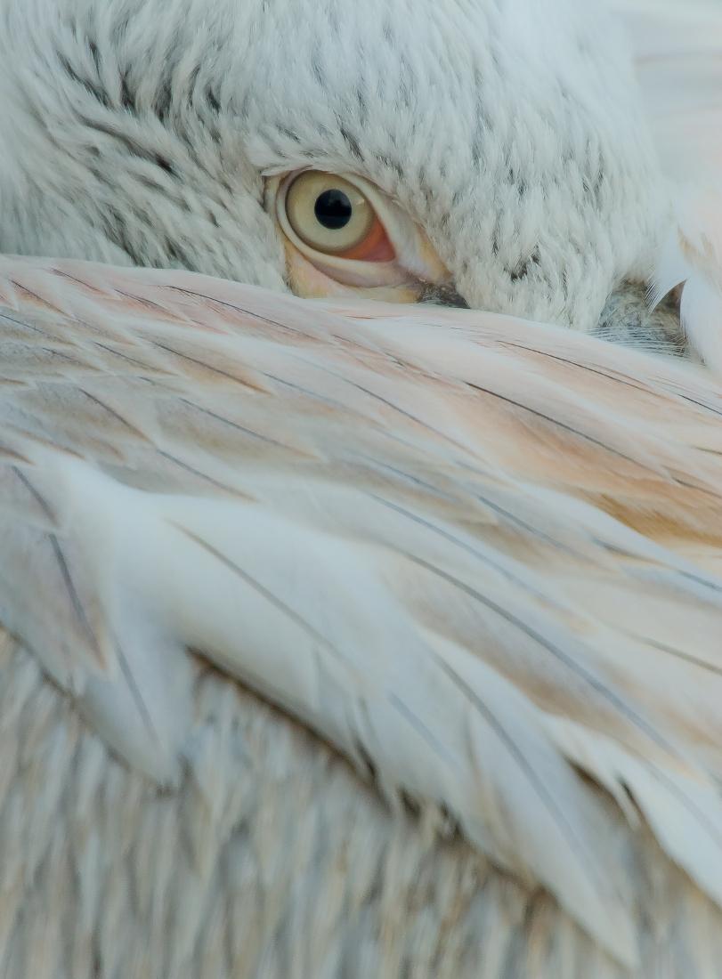 hide and seek - hide and seek... - foto door kyano09 op 14-01-2013 - deze foto bevat: kleuren, foto, kleur, rotterdam, dierentuin, vogels, dieren, veren, vogel, oog, pelikaan, dier, watervogel, veer, blijdorp, pelikanen, watervogels, kroeskop, kroeskoppelikaan, fotos, dierentuinen, diergaarde blijdorp, diergaarde blijdorp rotterdam, blijdorp rotterdam, hide and seek, kroeskoppelikanen, Pelecanidae, piscivoor, Pelecanus crispus