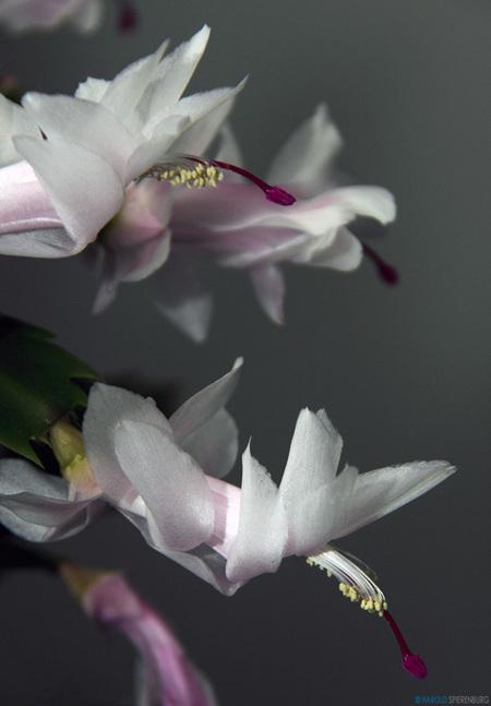 Schlumbergera - Een bekend kamerplantje maar lastig om de naam te achterhalen. En als je de naam hebt gevonden is het lastig om te onthouden :-) In elk geval bij he - foto door HaroldSpierenburg op 29-12-2011 - deze foto bevat: roze, kamerplant, Schlumbergera