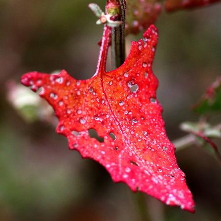 Blad -1- - Vandaag eens een wat andere benadering van de herfstfoto. Dit zijn bladeren van laag bij de grond groeiende vetplanten die een paar weken geleden in  - foto door fotohela op 19-10-2017 - deze foto bevat: roze, groen, paars, rood, macro, bloem, natuur, bruin, licht, oranje, herfst, dof