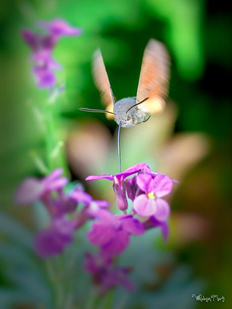 Kolibirievlinder