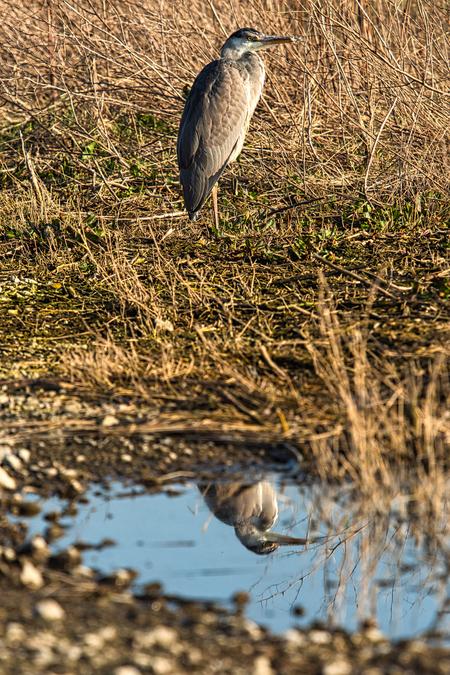 Reiger - Ik blijf nog even bij de dieren. Dit keer een reiger. Ook genomen tijdens mijn wandeling in de N3MP.  Alle zoomers, zoomvrienden en -volgers, bedan - foto door PaulvanVliet op 03-03-2021 - deze foto bevat: water, natuur, dieren, spiegeling, reiger, natuurgebied, watervogel, zoetermeer, Leidschenveen, n3pm