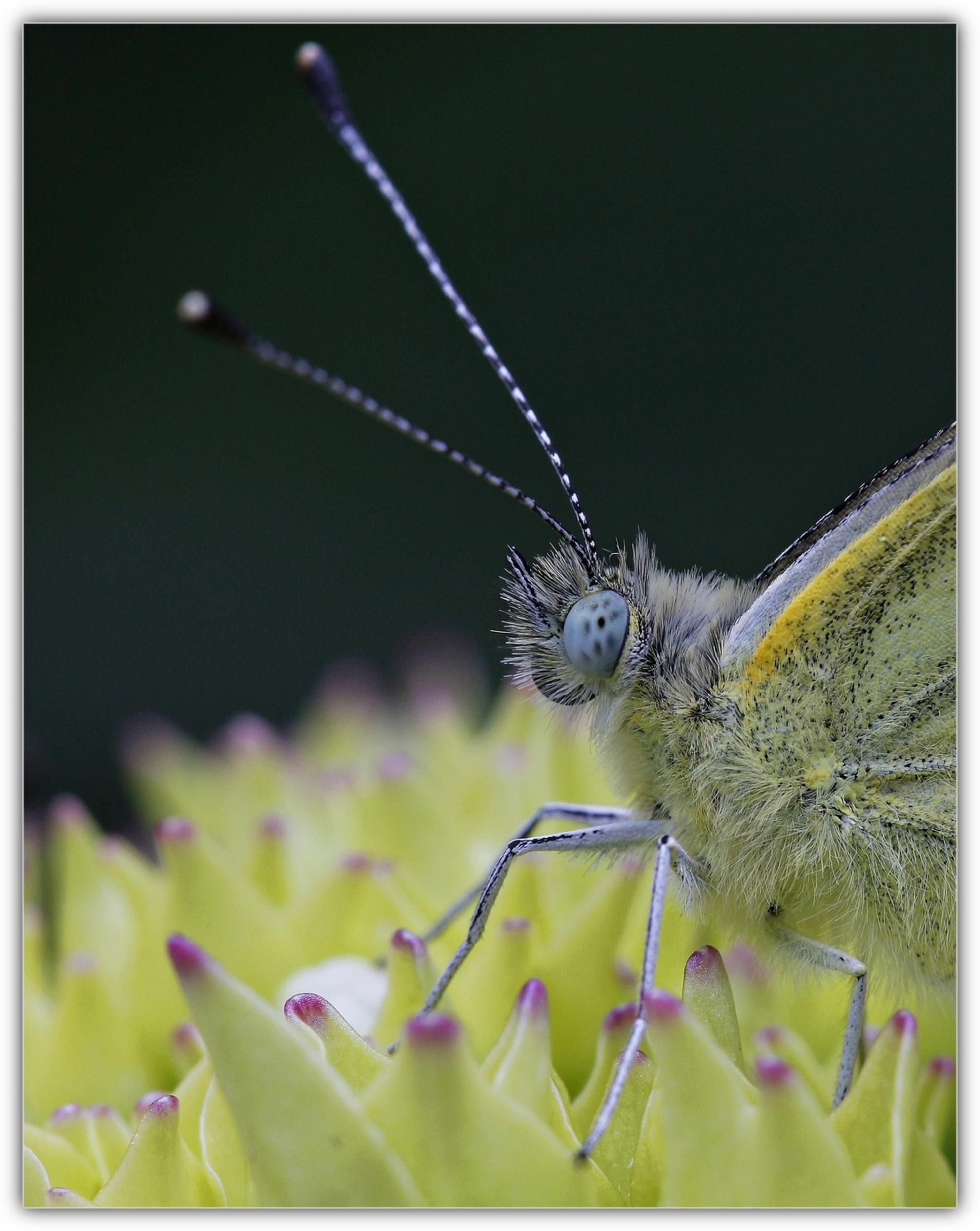 Wat leuk........ - dat je even naar mij komt kijken.......Welmoed heeft mij op de foto gezet toen ik bij hun op de hortensia zat.  Eeuwig en altijd loopt ze met dat d - foto door welmoed_zoom op 26-06-2014 - deze foto bevat: groen, macro, blauw, zon, bloem, lente, natuur, vlinder, geel, licht, tuin, zomer, insect - Deze foto mag gebruikt worden in een Zoom.nl publicatie