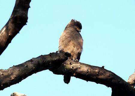 Mijn Reizen - India is een uitgelezen land om  vogels te spotten  er is zo'n  rijkelijke diversiteit  van de mooiste vogels . Dit is een Indische  kuifarend .   ja - foto door Stumpf op 10-04-2021 - locatie: India - deze foto bevat: lucht, vogel, afdeling, takje, fabriek, bek, kofferbak, hout, roofvogel, terrestrische dieren
