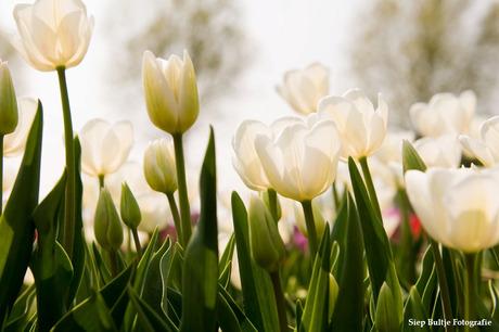 Tulpen in de Polder 02