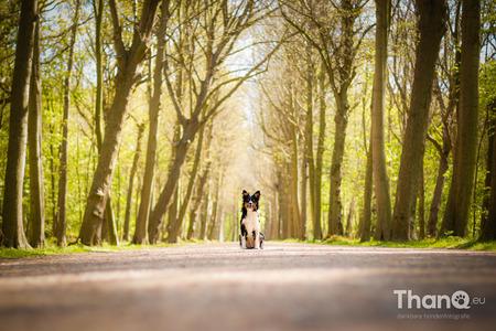 Jake in Domburg - Knappe Jake - zelfs als pup en mensen achter ons (of achter mij als fotograaf in ieder geval) netjes blijven zitten tot ik rustig mijn foto gemaakt h - foto door p.bezuijen op 15-07-2016 - deze foto bevat: bos, hond, bomen, zeeland, perspectief, puppy, laan, domburg, boslaan, Border Collie, kasteel westhove, hondenfoto, hondenfotograaf