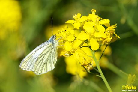 vlinder koolzaad