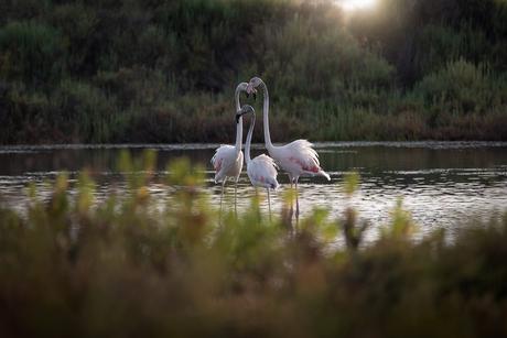 Flamingo's aan de Cote D'azur