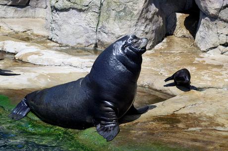 Manlijke zeeleeuw