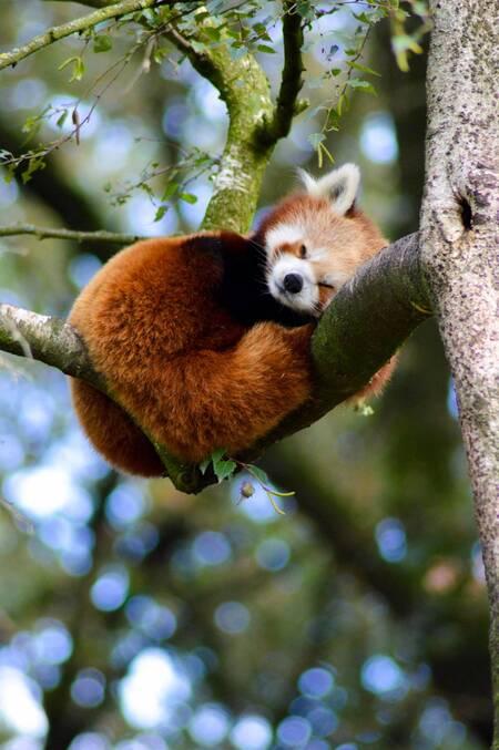 So fluffy - - - foto door Lauravdakker op 26-02-2021 - deze foto bevat: dierentuin, panda, ouwehand, Rode panda