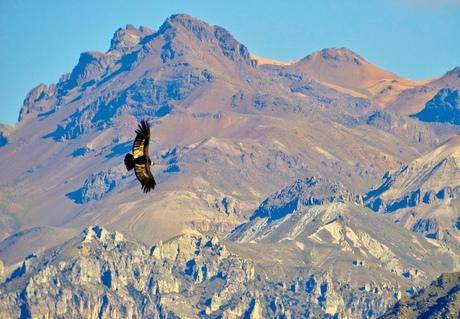 Condor/ in de vlucht gevangen.