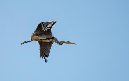 Reiger in vlucht (2) - Een reiger in vlucht, in de blauwe lucht Hij vloog op en was weg met een zucht  1 van de foto's uit de collage - foto door PNCO op 10-04-2020 - deze foto bevat: reiger, vlucht, blauwe lucht
