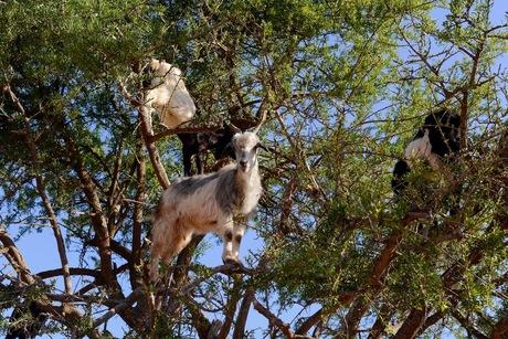 wilde geiten in de arganboom.