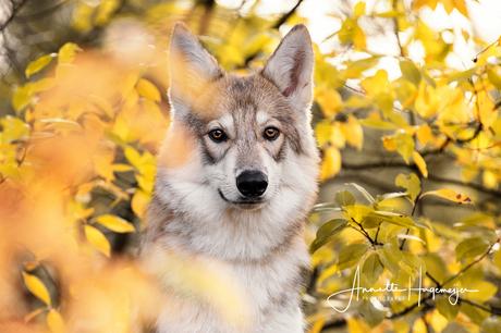 Tamaskan Wolfhond Anna