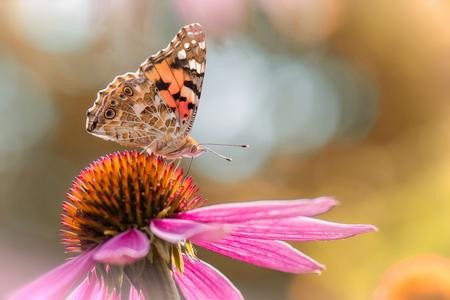 Botanische tuin - distelvlinder - Foto gemaakt in de botanische tuin in Oslo. Een prachtige tuin met heel veel vlinders. Echt genieten. - foto door Rspruijtenburg op 08-09-2019 - deze foto bevat: macro, zon, vlinder, distelvlinder, oslo, bokeh, botanischetuin