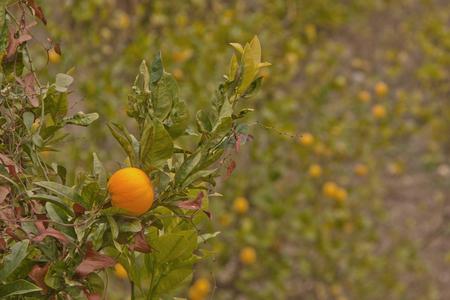 Appelsien - Tja, als je fotografeert in Spanje loop je vroeg of laat tegen sinaasappels aan. - foto door kosmopol op 09-01-2012 - deze foto bevat: oranje, spanje, sinaasappel, appelsien, kosmopol