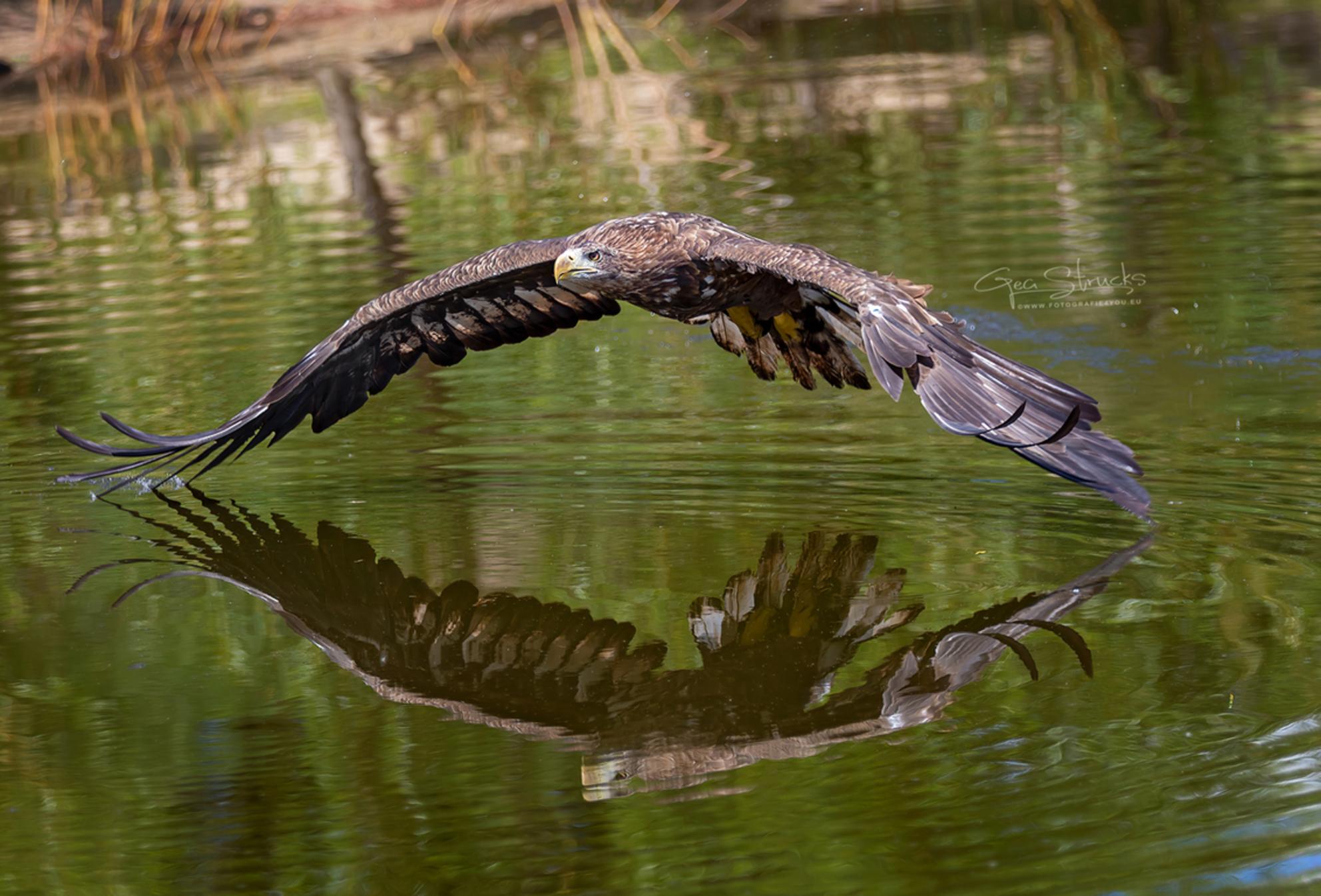 Zeearend - Europese zeearend vliegt over het water op zoek naar prooi - foto door madcorona op 21-09-2020 - deze foto bevat: water, reflectie, zeearend, eagle, eagles, europe, raptor, Europese zeearend - Deze foto mag gebruikt worden in een Zoom.nl publicatie