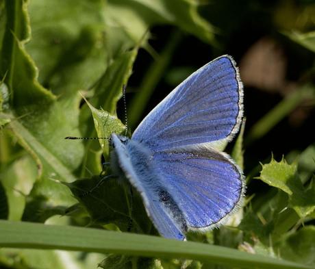 Vlinder Icarus blauwtje