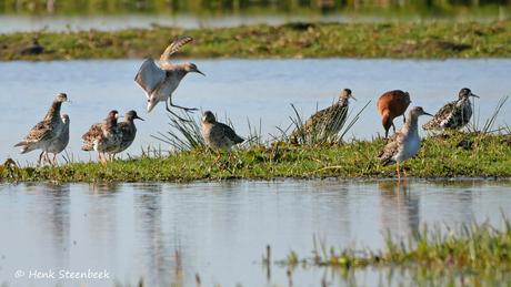 Kemphanen in de polder