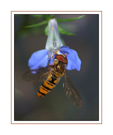 Zweefvlieg aan bloemetje