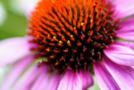 Echinacea  - Macro opname van het hart - foto door Frenk2021 op 16-04-2021 - locatie: Veldhoven, Nederland - deze foto bevat: echinacea, bloemen, macro, bloem, fabriek, paarse zonnehoed, bloemblaadje, bloeiende plant, eenjarige plant, magenta, detailopname, daisy familie, wildflower