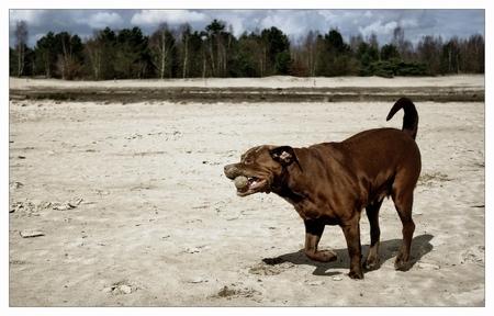 spelen in de duinen - - - foto door marijvdmeijs op 29-03-2009 - deze foto bevat: dieren, duinen, hond, senna