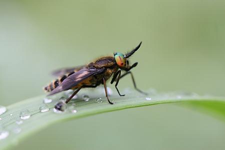 Goudoogdaas - En hier nog een van een aantal weken terug. Het is een mooie vlieg, maar wat kan hij gemeen steken. - foto door Martine van Doorn-Bos op 23-10-2011 - deze foto bevat: zweefvlieg