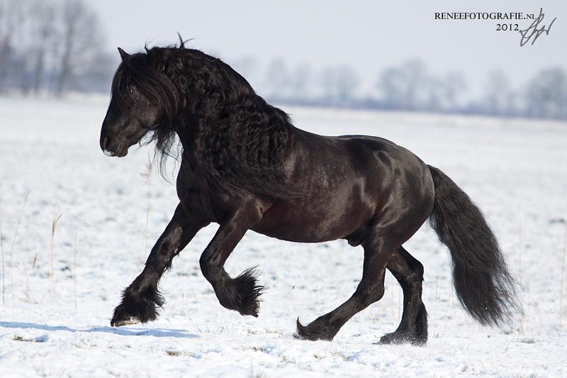 Fell pony in sneeuw - Dit weekend een aantal fell pony's op de foto gezet in de sneeuw. Wat komen ze toch mooi tot hun recht! - foto door lifaya op 05-02-2012 - deze foto bevat: paarden, paard, pony, valk, los, vrijheid, roan, hengst, horse, ruin, palomino