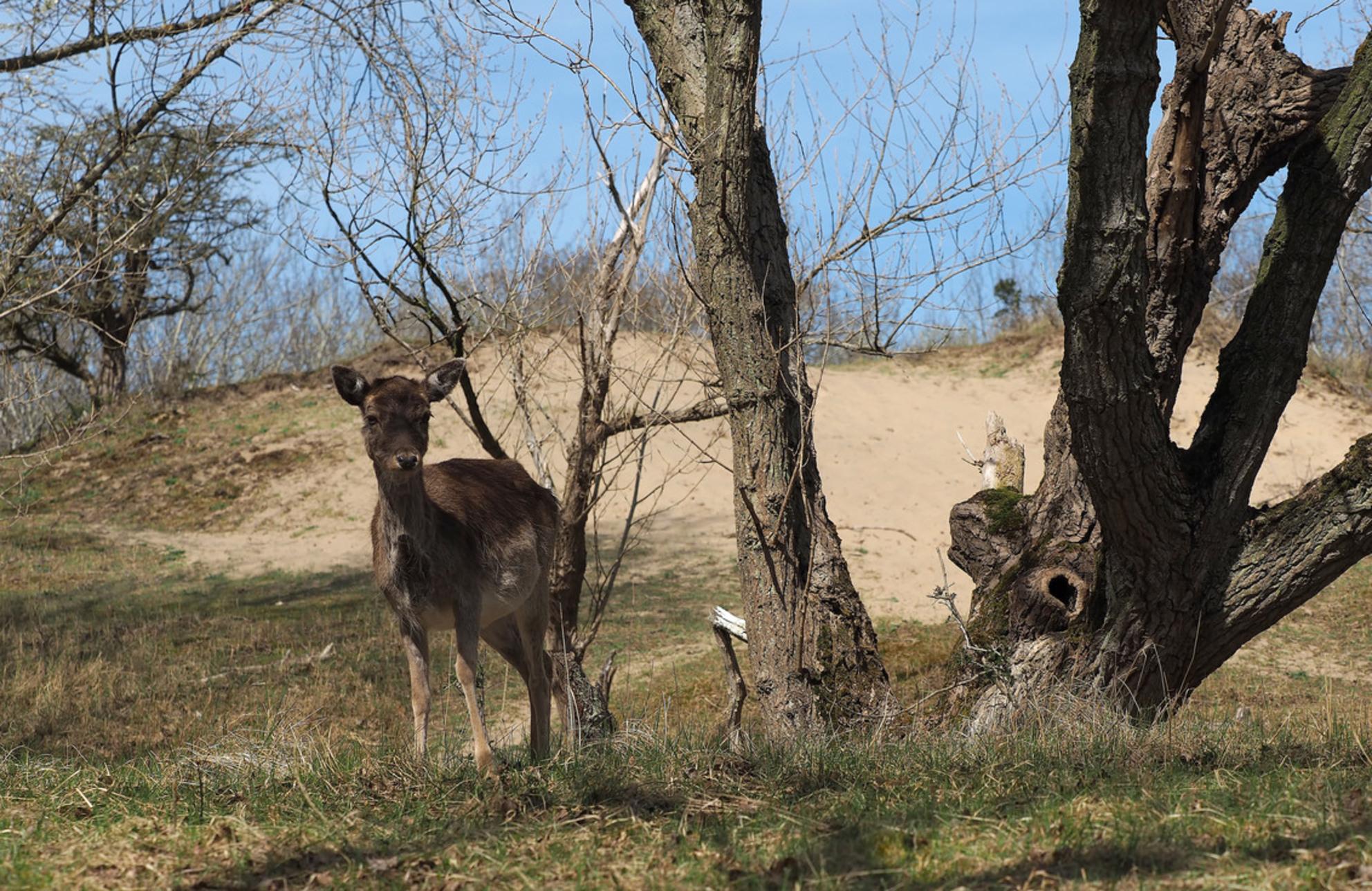 Een .... - Een....zijn met de natuur...en dan zie je die mooie ...dan kan je dag niet meer stuk... - foto door pietsnoeier op 30-04-2015 - deze foto bevat: boom, natuur, dieren, ree, bos, hert, awd, wildlife, dof, bokeh