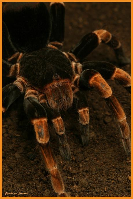 Orange-kneed Tarantula
