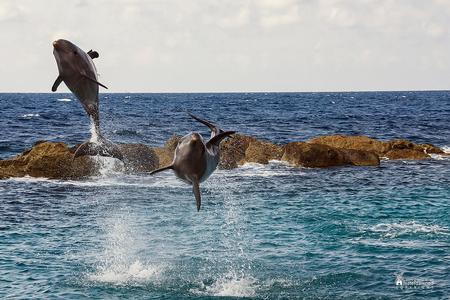 Curacao - Springende dolfijnen in Curacao. - foto door amsterdamned_zoom op 18-08-2019 - deze foto bevat: zee, dolfijnen, curacao, caribien, amsterdamned
